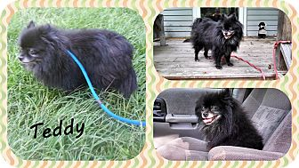 Pomeranian Dog for adoption in DOVER, Ohio - Teddy