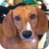 Dachshund Dog for adoption in Houston, Texas - Bradley Cooper
