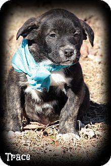 Labrador Retriever/Boxer Mix Puppy for adoption in Brattleboro, Vermont - Trace