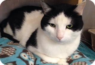 Domestic Shorthair Cat for adoption in Hillside, Illinois - Jack