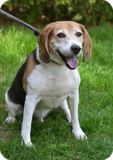Beagle Mix Dog for adoption in Springfield, Illinois - Butler