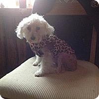 Adopt A Pet :: Precious - Loveland, CO