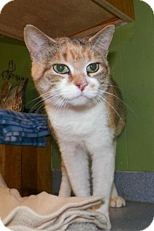 Domestic Shorthair Cat for adoption in Dover, Ohio - Peggy