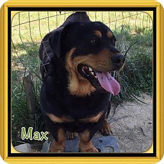 Basset Hound/Labrador Retriever Mix Dog for adoption in Allentown, Pennsylvania - Max (POM-CD)