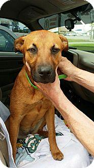 German Shepherd Dog Mix Dog for adoption in Brattleboro, Vermont - Layla
