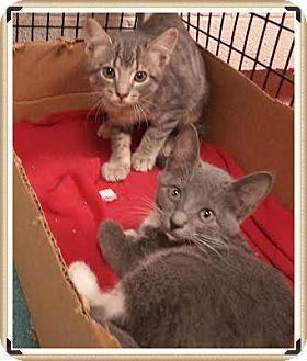 Domestic Shorthair Kitten for adoption in Marietta, Georgia - Shami