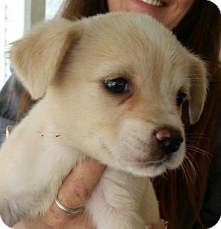 Basenji/Labrador Retriever Mix Puppy for adoption in Crestview, Florida - Baylee