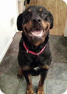 Rottweiler Mix Dog for adoption in Frederick, Pennsylvania - Candy
