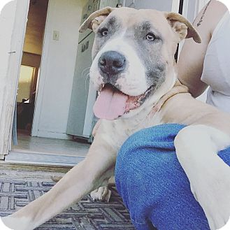 American Bulldog/American Pit Bull Terrier Mix Dog for adoption in Las Vegas, Nevada - Babble