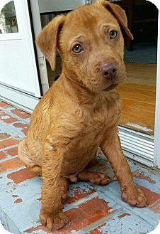 Boxer/Labrador Retriever Mix Puppy for adoption in Eden Prairie, Minnesota - Milo
