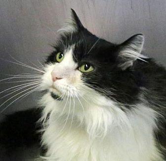Domestic Shorthair Cat for adoption in Roseville, California - Jessie