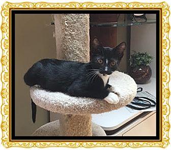 Domestic Shorthair Kitten for adoption in Mt. Prospect, Illinois - Tabitha