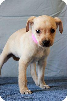 Labrador Retriever Mix Puppy for adoption in Waldorf, Maryland - Annabelle