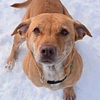 Labrador Retriever Mix Dog for adoption in Ozone Park, New York - Diamond