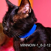 Domestic Shorthair Cat for adoption in Dallas, Texas - MINNOW