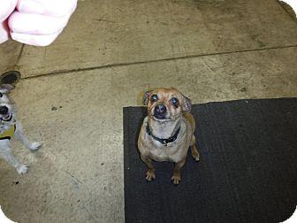 Chihuahua/Pug Mix Dog for adoption in Sandusky, Ohio - Peter