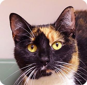 Domestic Shorthair Cat for adoption in Norwalk, Connecticut - Misty