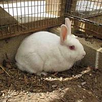 Adopt A Pet :: CANNOLI - Santa Maria, CA