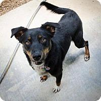 Adopt A Pet :: Charlize - Shelburne, VT