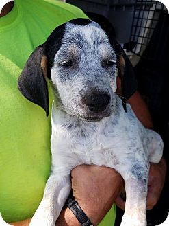 Australian Cattle Dog Mix Puppy for adoption in Gainesville, Florida - James