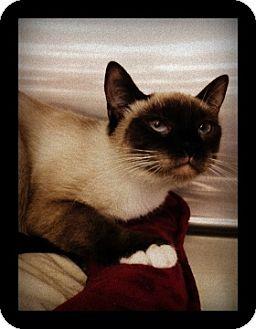 Snowshoe Cat for adoption in Oviedo, Florida - Sally