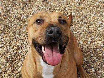 Black Mouth Cur Mix Dog for adoption in Jacksonville, Florida - ASIA