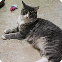 Adopt A Pet :: Smokey III - Fountain Hills, AZ