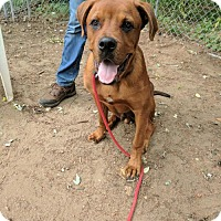 Boxer/Mastiff Mix Puppy for adoption in Armonk, New York - Fry