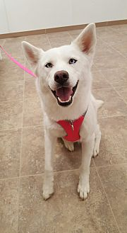 Husky Mix Dog for adoption in Hawk Point, Missouri - Lady