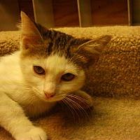Adopt A Pet :: Cricket-COMING SOON! - Bridgeton, MO