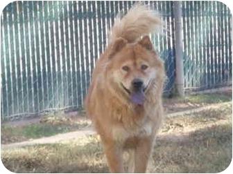 Husky/Chow Chow Mix Dog for adoption in Sacramento, California - Pearl