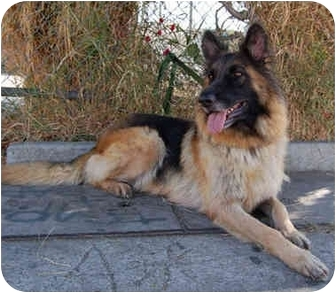 German Shepherd Dog Dog for adoption in Los Angeles, California - Sheba von Schaumburg
