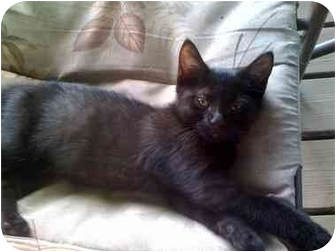 Domestic Shorthair Kitten for adoption in Panora, Iowa - Hermione