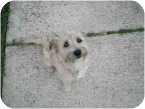 Terrier (Unknown Type, Small) Mix Dog for adoption in Lonedell, Missouri - Good Time Charlie