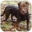 Photo 2 - American Pit Bull Terrier/Labrador Retriever Mix Dog for adoption in Chicago, Illinois - Hope