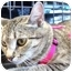 Photo 1 - Domestic Shorthair Cat for adoption in Olive Branch, Mississippi - Lady