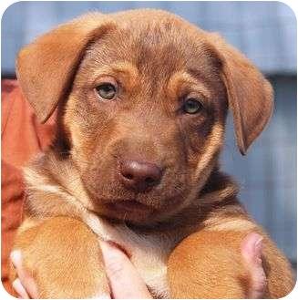 Labrador Retriever/Hound (Unknown Type) Mix Puppy for adoption in Portland, Maine - Martha