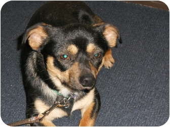 Chihuahua Mix Dog for adoption in Sidney, Ohio - Squirt