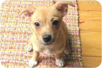 Chihuahua/Corgi Mix Puppy for adoption in Santa Ana, California - Mollie