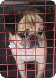 Pug Dog for adoption in Palatine, Illinois - Rose