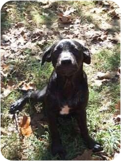 Labrador Retriever/Retriever (Unknown Type) Mix Dog for adoption in Cranford, New Jersey - Luna
