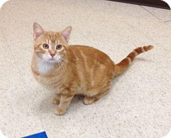 American Shorthair Cat for adoption in Foster, Rhode Island - Marline