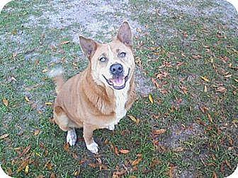 Husky/Australian Cattle Dog Mix Dog for adoption in Orange Lake, Florida - Honey Bear