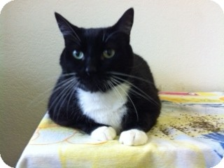 Domestic Shorthair Cat for adoption in North Fort Myers, Florida - Mr. Kitty