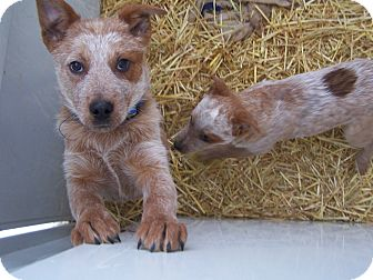 Australian Cattle Dog/Blue Heeler Mix Puppy for adoption in Chewelah, Washington - Zip