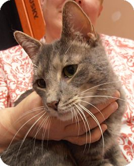 Domestic Shorthair Cat for adoption in Horsham, Pennsylvania - Gumball
