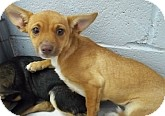 Chihuahua Mix Puppy for adoption in Silver City, New Mexico - Sunset