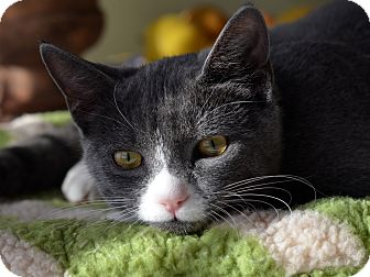 American Shorthair Kitten for adoption in Brooklyn, New York - Teddy