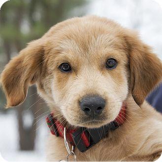 Golden Retriever/Labrador Retriever Mix Puppy for adoption in Brooklyn, New York - Darling Dancer
