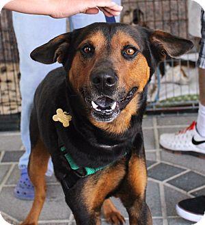 Rottweiler/Hound (Unknown Type) Mix Dog for adoption in Richmond, Virginia - Rascal